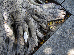 Los Angeles - Tree Roots
