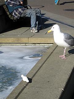 Seattle - Geagul
