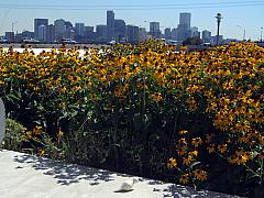 DNC - Skyline Yellow Flowers
