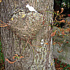 Germany - Old Tree
