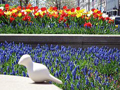 Chicago - Tulips