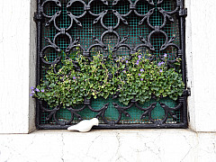 Italy, Venice - Lavender