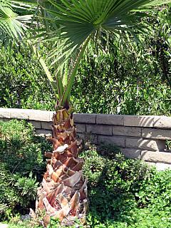 Los Angeles - Palm Tree