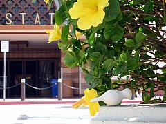 Los Angeles - Yellow Hybis