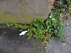 Savannah, Georgia - Sidewalk Plants