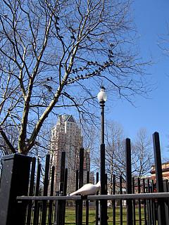 Rhode Island - Pigeon Tree