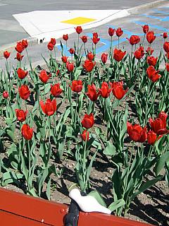 Baltimore - Tulips
